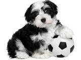 Cute Havanese Puppy Dog With A Soccer Ball Fotografisk trykk av  mdorottya