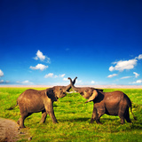 Elephants Playing With Their Trunks On African Savanna. Safari In Amboseli, Kenya, Africa Reproduction photographique par Michal Bednarek