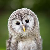 Close Up Of A Baby Tawny Owl (Strix Aluco) Fotoprint van  l i g h t p o e t