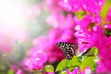 Majestic Morning Scene With Butterfly Feeding On Nectar Of A Bouganvillea Flower With Sunrays Photographic Print by  smarnad