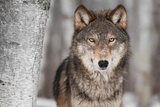 Grey Wolf (Canis Lupus) Next To Birch Tree Fotoprint van  hkuchera