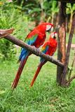 Parrots: Scarlet Macaw (Ara Macao) Lámina fotográfica por  zanskar