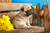 Pug Puppy And Spring Flowers Reproduction photographique par  Lilun