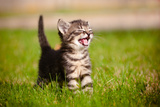 Tabby Kitten Outdoors Meowing Fotografisk tryk af  ots-photo