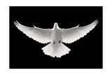 Flying Dove Affiche par  ifong