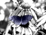 Black And White Butterfly Photographic Print by Jenn Gaylord