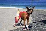 Ipanema Surfer Dog Fotografisk trykk av  OSTILL