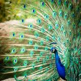 Splendid Peacock with Feathers Out (Pavo Cristatus) Reproduction photographique Premium par  l i g h t p o e t