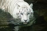 Hvid tiger Fotografisk tryk af  noelbynature
