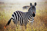Zebra Portrait On African Savanna. Safari In Serengeti, Tanzania Fotografisk tryk af Michal Bednarek