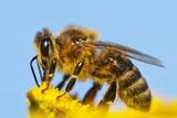 Detail Of Honeybee Fotografie-Druck von Daniel Prudek