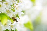 Honey Bee In Flight Approaching Blossoming Cherry Tree Fotografisk tryk af  l i g h t p o e t