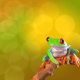 Red Eyed Tree Frog From Costa Rica Rain Forest Fotografisk tryk af  kikkerdirk