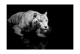 White Tiger Art by  Kjersti