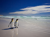 King Penguins At Volunteer Point On The Falkland Islands Fotografie-Druck von Neale Cousland