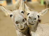Donkey Duo Fotografisk tryk af  Blueiris