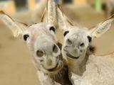 Donkey Duo Fotografie-Druck von  Blueiris