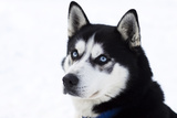 Husky Portrait Photographic Print by  melis