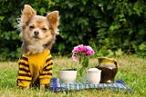 Cute Chihuahua Dog At The Picnic In Summer Garden Valokuvavedos tekijänä  vitalytitov