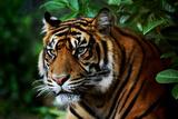 Tiger Fotografisk tryk af  Nanieke