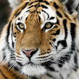 Tiger Opspændt lærredstryk af  nialat