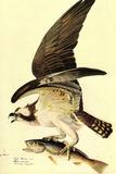 Audubon Osprey Bird Plastic Sign Signe en plastique rigide par John James Audubon
