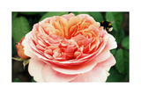 Garden Rose With Landing Bumble Bee Prints by Alaya Gadeh