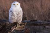 Snowy Owl, British Columbia, Canada Fotoprint van Art Wolfe