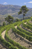 Vineyards of the Douro Valley, Pinhao, Portugal Fotografisk tryk af Julie Eggers