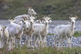 Mountain Goats, Kongakut River, ANWR, Alaska, USA Impressão fotográfica por Tom Norring
