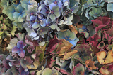 Hydrangeas in Garden, Portland, Oregon, USA Fotografie-Druck von  Jaynes Gallery