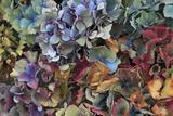 Hydrangeas in Garden, Portland, Oregon, USA Photographic Print by  Jaynes Gallery
