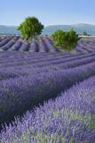 Rows of Lavender Along the Valensole Plateau, Provence, France Fotografisk trykk av Brian Jannsen