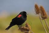 Male Red-Winged Blackbird, Ridgefield NWR, Ridgefield, Washington, USA Photographic Print by Michel Hersen