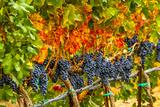 Cabernet Sauvignon Grapes Ready for Harvest, Washington, USA Lámina fotográfica por Richard Duval