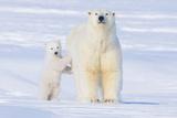 Polar Bear with Spring Cub, ANWR, Alaska, USA Fotografisk tryk af Steve Kazlowski