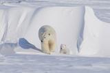 Polar Bear with Spring Cub, ANWR, Alaska, USA Stampa fotografica di Steve Kazlowski