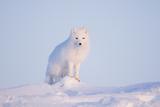 Arctic Fox Adult Pauses on a Snow Bank, ANWR, Alaska, USA Stampa fotografica di Steve Kazlowski