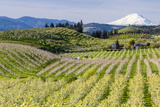 Pear Orchards Blooms with Mount Adams, Oregon, USA Stampa fotografica di Chuck Haney