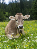 Grazing Cattle, Tyrol, Austria Stampa fotografica di Martin Zwick