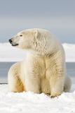Polar Bear Sits Along Barrier Island, Bernard Spit, ANWR, Alaska, USA Stampa fotografica di Steve Kazlowski