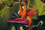 Bird of Paradise Blooming on the Garden Isle, Kauai, Hawaii, USA Lámina fotográfica por Jerry Ginsberg