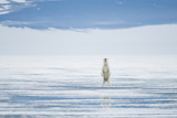Polar Bear Travels Along Sea Ice, Spitsbergen, Svalbard, Norway Stampa fotografica di Steve Kazlowski