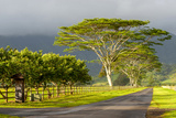 Old and New Trees in the Moloa'A Forest Reserve, Kauai, Hawaii, USA Fotografisk trykk av Richard Duval