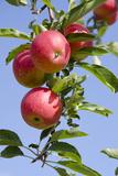 Beautiful Red Apples, Lafayette, New York, USA Fotografisk tryk af Cindy Miller Hopkins