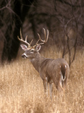 A White Tailed Deer in Choke Canyon State Park, Texas, USA Premium fototryk af John Alves