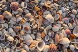 Seashells on Sanibel Island, Florida, USA Photographic Print by Chuck Haney