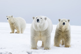 Polar Bear with Two 2-Year-Old Cubs, Bernard Spit, ANWR, Alaska, USA Stampa fotografica di Steve Kazlowski