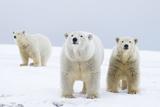 Polar Bear with Two 2-Year-Old Cubs, Bernard Spit, ANWR, Alaska, USA Photographic Print by Steve Kazlowski
