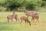 White-Tailed Deer (Odocoileus Virginianus) Doe with Fawns, Texas, USA Reproduction photographique par Larry Ditto